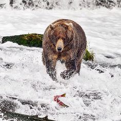 This image is included in my 2016 calendar of 'Wild Alaska'. Click on the link in bio to review the rest of the images and pick up the calendar at 20% off. Offer ends tomorrow 4th December  Subject: Brown bears  Location: Alaska  #timplowdenphotography #wildlifephotography #naturephotography #wildlife #nature #animals #salmonmigration #alaska #alaskanadventures #river #fishing #brownbear #bear #travel #blogpost  #calendar #travelphotography #landscapephotography #sale #etsy #christmas…