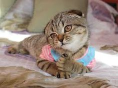 Cuttest Scottish fold. Funny fact and photo about more beautiful cat breeds? follow and visit my website.