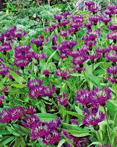 Bachelor Button Amethyst Dream, Centaurea montana – Bachelor Buttons from American Meadows Plants That Attract Butterflies, How To Attract Birds, Purple Perrenial Flowers, Amazing Gardens, Beautiful Gardens, Landscape Nursery, American Meadows, Bachelor Buttons, Drought Tolerant Landscape