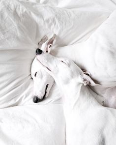 "329 Likes, 3 Comments - Whippet (@whippet.daily) on Instagram: "" //good night (( _ _ ))..zzzZZ Visit my page to view more @whippetdaily229 Via : @_wand_wand …"""