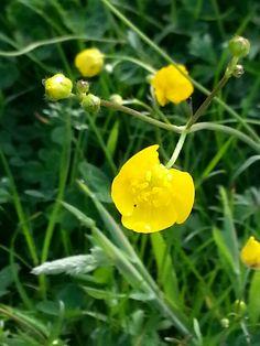 Boterbloemen# flowers