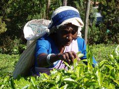 Tea plantation (Sri Lanka) by marcela@david, via Flickr (www.secretlanka.com)