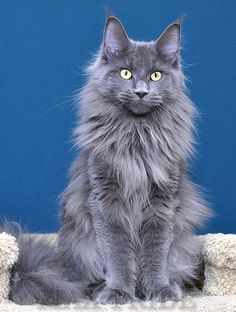 How Much You Need To Expect You'll Pay For A Good funny dog memes Beautiful Cats, Animals Beautiful, Cute Animals, Grey Kitten, Grey Cats, I Love Cats, Cool Cats, Nebelung Cat, Maine Coon Cats