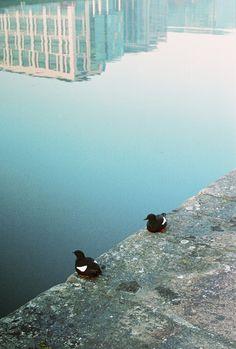 Two Ducks on the River Liffey, Dublin, IE