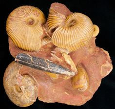 """This is a stunning piece from Anwil, Switzerland with three 2 ½"""" wide Macrocephalites ammonites, a belemnite and several other fossils. It has a beautiful reddish brown coloration and has been beautifully prepared. This is the only specimen of these ammonites I've been able to acquire. These fossils are Middle Jurassic in age, Callovian Stage or approximately 164 million years old.Just added for sale at FossilEra.com"""