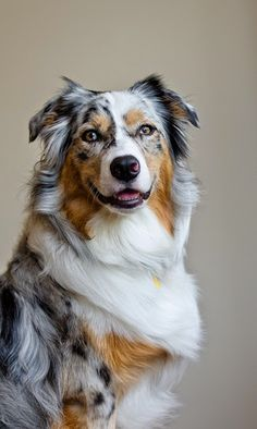 That smile :) - Beautiful Aussie. There are 4 different type puppies. He's a blue merle. Gorgeous wonderful dogs.