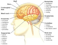 Image of the Major Parts of the Brain and their Functions