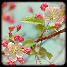 Nature photography Apple Blossom Flowers Buds Tree by Fizzstudio, $20.00