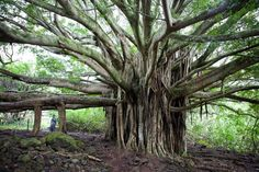 Google Image Result for http://imgs.sfgate.com/blogs/images/sfgate/hawaii/2010/11/02/banyan-oheo625x416.jpg