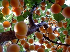 apricot tree by ARETY, via Flickr