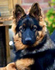 Wicked Training Your German Shepherd Dog Ideas. Mind Blowing Training Your German Shepherd Dog Ideas. Rottweiler, I Love Dogs, Cute Dogs, German Shepherd Puppies, German Shepherds, Beautiful Dogs, Beautiful Gorgeous, Beautiful Gifts, Pit Bull