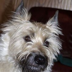 Rocky - Rescued from a mill in 2007. The epitome of a Cairn Terrier! Vote for him at Hanging the Moon. https://www.facebook.com/HangingTheMoon