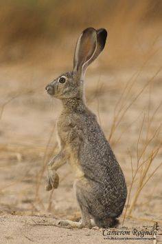 Black-tailed Jack Rabbit (Lepus californicus)