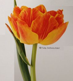 Double Early Tulip 'Anthony Eden'