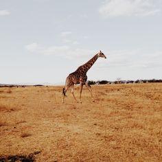Giraffe | VSCO | bethanywagge