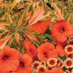 Part shade: Coleus Beauty of Lion, orange petunia, apricot calibrachoa