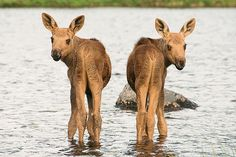 Butt....they're just babies!!!  Twin moose calves.