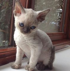 Devon rex - if I ever feel that I can adopt another pet in my life it will be this little guy