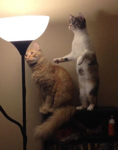 Curious cats see moth on lamp  Follow us @showmeCats #showmecats #thefunny #FunnyCats
