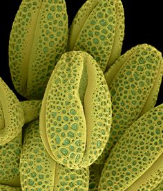 Salix caprea Colored Micrographs Magnify Pollen Seeds, Plant Cells, and Leaf Structures in Photographs by Rob Kesseler Colored Micrographs Magnify Pollen Seeds, Plant Cells, and Leaf Structures in Photographs by Rob Kesseler Natural Structures, Natural Forms, Natural Texture, Foto Nature, Leaf Structure, Plant Cell Structure, Microscopic Photography, Micro Photography, Nature Photography