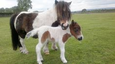 Show Off Your Shetland Ponies In Our Gallery Of Photos ...