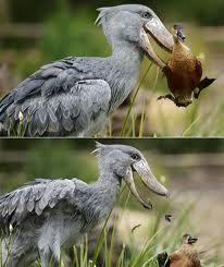 shoebill - Google 搜尋
