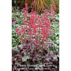 Heuchera 'Mysteria' Coral Bells, Astilbe, Heuchera, Begonia, Shade Garden, Ferns, Green Leaves, Perennials, Pink Flowers