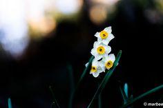 水仙さんが今年も元気に咲きました。(≧∀≦)/