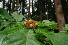 5月5日【カシワ(柏)】学名:Quercusdentata形態:落葉広葉樹 樹高:中高木分類:ブナ科花色:黄色の小さい花がらせん状に多数つく使われ方:庭木、公園樹、街路樹などとして使われています。葉には芳香があり、さらに翌年に新芽が出るまで古い葉が落ちない特性から「代が途切れない」縁起物とされ、塩漬けにして柏餅を包むのに用いられます。今日は、皆さんもおいしく召し上がっていますか?