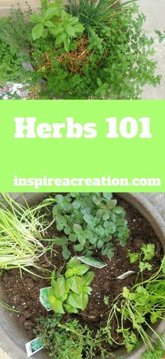 Herbs 101 will give you the basic knowledge you need to grow your own herbs to use in your recipes. Herbs 101 will give you the basic knowledge you need to grow your own herbs to use in your recipes. Herbs Indoors, Organic Gardening, Vertical Herb Garden, Herbs, Growing Herbs, Hydroponic Gardening, Urban Garden, Types Of Herbs, Gardening Tips