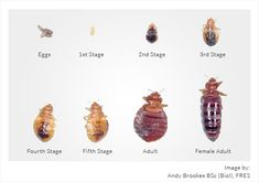 100 Best Bed Bug Bites Images 3 4 Beds Bed Bugs Bites Bed Bugs