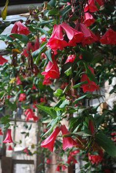 Pine Cottage Plants -Lapageria rosea