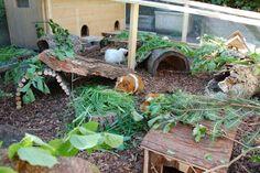 Image result for guinea pig freerange