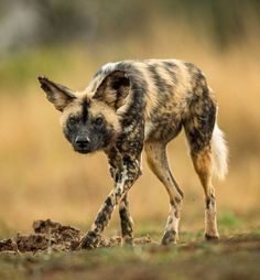 Wilder Dog by Jaco Marx -- An African Wild Dog stalking. African Hunting Dog, African Wild Dog, Hunting Dogs, Coyotes, Wildlife Photography, Animal Photography, Animals And Pets, Cute Animals, Wild Dogs