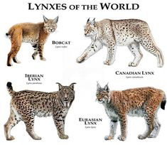 The four Lynx cats in the Lynx genus all have very short tails and tufted ears. The Lynx species of the Lynx lineage belong to the Felinae subfamily and Felidae family. Iberian Lynx, Eurasian Lynx, Tiger Species, Animal Species, Wild Cat Species, Small Wild Cats, Big Cats, Animals And Pets, Baby Animals