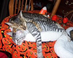 Bengal Cat Gallery: Bengal Cats Gallery: Capo and Vinnie
