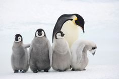 Emperor penguins are perfectly adapted to survive harsh Antarctic conditions but their habitat is threatened due to climate change. To celebrate World Penguin Day, the WWF has released its top 10 emperor penguin facts Emperor Penguin Facts, Emperor Penguins, Penguin Day, Baby Penguins, Colorful Birds, Fauna, Mammals, Animal Pictures, Find Food
