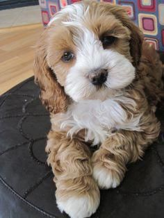 I am so in love with cockapoo puppies right now Cute Little Puppies, Cute Dogs And Puppies, I Love Dogs, Doggies, Cutest Small Dogs, Cute Baby Animals, Funny Animals, Cocker Spaniel Mix, Cockapoo Puppies