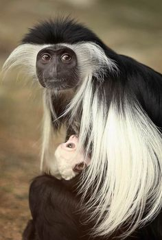 Angolan colobus female holds her cub at the zoo Brookfield Zoo, Illinois. (Scott Olson / Getty Images)
