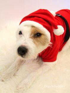 Mickey - Parson Russell Terrier - Terrier - Parson - Parsonpup - Dogsundbuddies - Dogs&Buddies - Hunde - Hund - Hundeblog- Hundeblogger - Dogblog - Dogblogger