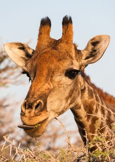 Giraffe portrait by Denis Roschlau on 500px