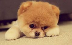 Animals Dog Pomeranian Cute pomeranian puppy on the floor Puppy HD Wallpapers, Desktop Backgrounds, Mobile Wallpapers Cute Puppies, Cute Dogs, Dogs And Puppies, Baby Dogs, Funny Dogs, Funny Memes, Toy Puppies, Doggies, Photo Ours