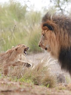 """Go away! Now! I like you NO more!"" #BigCatFamily"