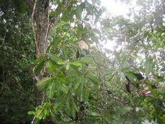 파나마 열대우림속 원숭이