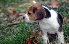 Beagles are cute