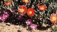 Succulent Karoo - The Encyclopedia of Earth Biology, Caption, Succulents, Earth, Plants, Captions, Succulent Plants, Plant, Planets