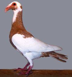 Scandaroon Pigeon   9 Bizarre and Beautiful Fancy Pigeons | Mental Floss