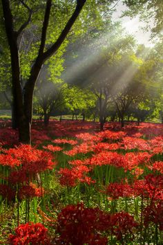 "expressions-of-nature: "" Red Spider Lily & Light, South Korea Beautiful World, Beautiful Places, Beautiful Pictures, Beautiful Forest, Beautiful Wife, Terre Nature, Foto Nature, Nature Nature, Red Spider Lily"
