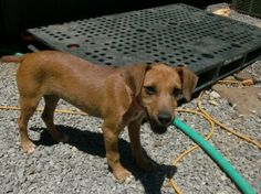 Sandy-NEW PICS! is an adoptable Jack Russell Terrier Dog in Trevorton, PA. Sandy is an approximatey 12 week old Terrier mix who was rescued from a parking lot, where she was dumped and remained there ...