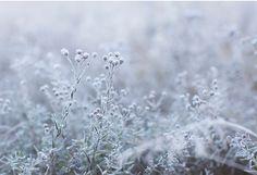 Pakkasen jäädyttämät hauraat kukkaset ovat kaunein näky syksyn huurteisissa aamuissa. Frozen and fragile f...
